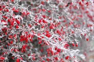 Red berry branches covered in ice