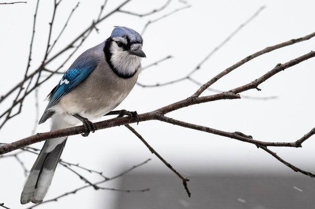 Blue bird on branch