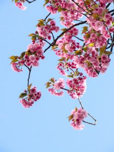 Low angle photo of cherry tree branch with blossoms