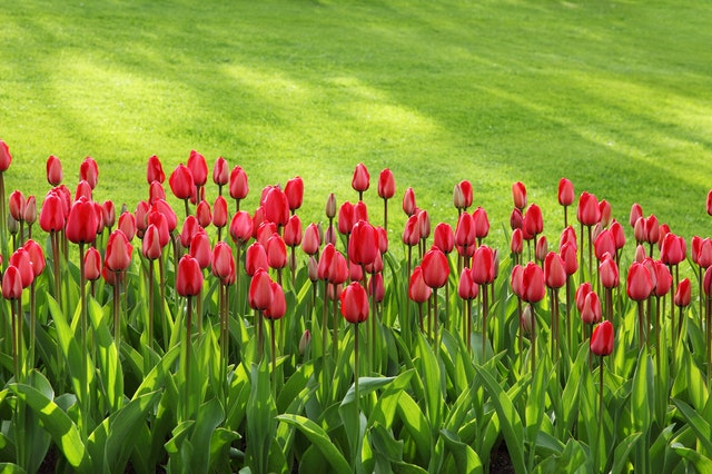Red tulips in front of sod grass lawn