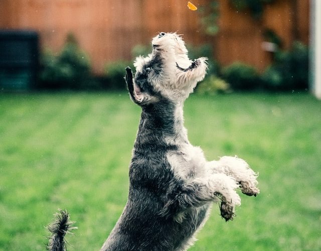 Terrier dog jumping on lush green lawn